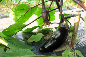 スリーエフ農法の無農薬野菜 ナス