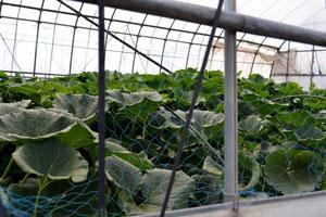 無農薬野菜 かぼちゃ