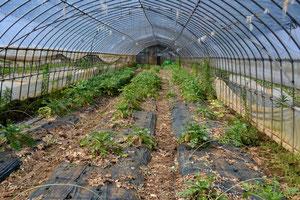 無農薬野菜 大根