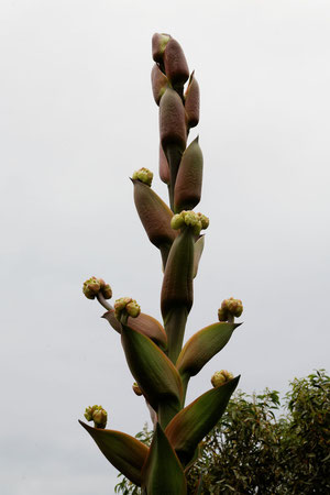 Fleur d'ALOES