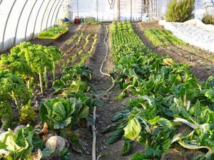 Im Tunnel haben die Gemüse überwintert