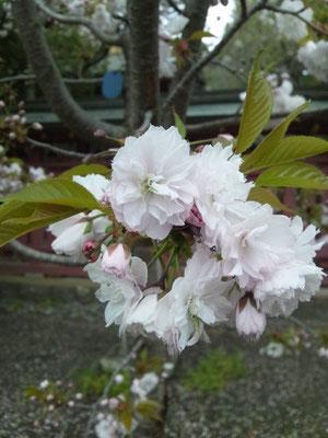 これが塩釜桜です!