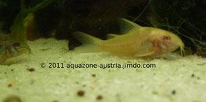 Marmorpanzerwels Albino, rote Augen
