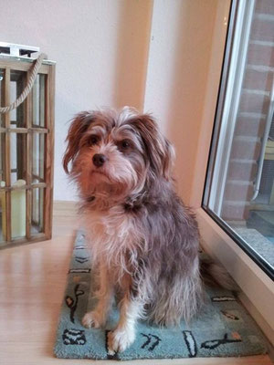 Tossu, Mix aus Yorkie, Westhighland white Terrier und Mini-Australian-Shepherd