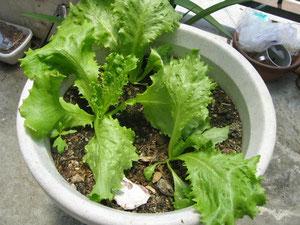 ベランダで栽培しているレタス