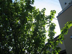 大きく育ったカリンの木