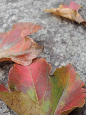 アイビースクゥエア石畳の紅葉