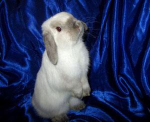 вислоухий кролик nhd