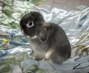 вислоухие кролики nhd