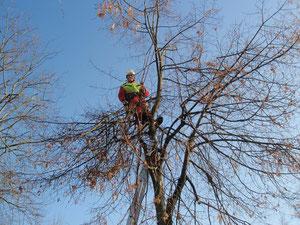 Entlastungsschnitt bruchgefährdeter Äste, Henzelmann Baumpflege Baumschnitt Fällung Spezialfällung Stockfräse Strunkfräse Pflanzung Arbeiten Spiez Bern Oberland Wallis Kanton Baum Bäume