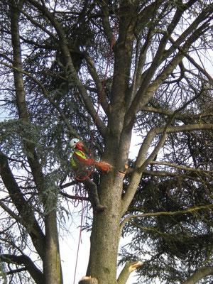 Spezialfällung von Bäumen, Henzelmann Baumpflege Baumschnitt Fällung Spezialfällung Stockfräse Strunkfräse Pflanzung Arbeiten Spiez Bern Oberland Wallis Kanton Baum Bäume