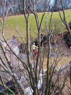 Totholz entfernen, Henzelmann Baumpflege Baumschnitt Fällung Spezialfällung Stockfräse Strunkfräse Pflanzung Arbeiten Spiez Bern Oberland Wallis Kanton Baum Bäume