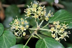 Efeu-Blütenstand