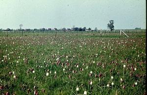 Die Schachblume zur Zeit der Hochblüte im Junkernfeld in der Unteren Seeveniederung