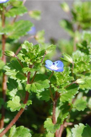 オオイヌノフグリ この花は春早く咲く 名前がフグリとは可哀相だなぁ