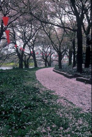 花ロード 外堀の散歩道に桜の花が散る 犬をつれた人が来ればもっとよいのに、、