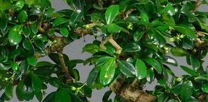 Fukientee, Carmona microphylla glänzenden Blätter / Blüten