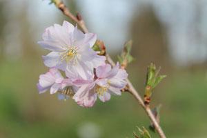 Prunus subhirtella 'Autumnalis' © P. Lamour
