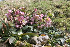 Helleborus x hybridus. Renonculacées. floraison hivernale ©  P.Lamour