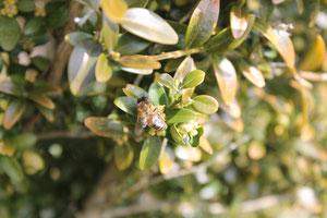 Buxus sempervirens. Buxacés. floraison précoce au printemps. plante méllifère © P.Lamour