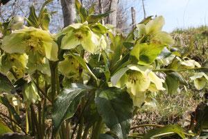 Helleborus x hybridus.Renonculacées.floraison hivernale © P.Lamour