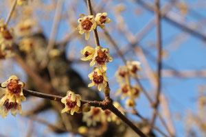 Chimonantus praecox. Calycanthacées. floraison hivernale odorante  © P.Lamour