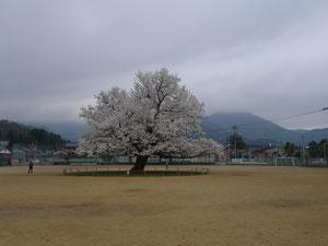 味真野小学校の1本桜