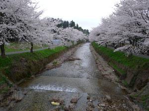 越前市宮谷町の桜