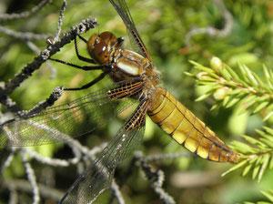 Weibliche Plattbauch-Libelle (Foto: Heinz Weishaupt)