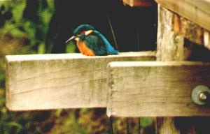 Junger Eisvogel aus der ersten Brut 1983 (Foto: Waltraud Schilke / Gruppe Broichbachtal)