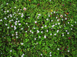 Pratia pedunculata in Alsdorf (Foto: Wolfgang Voigt)