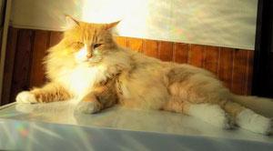 Gallifrey's Jim Holden , 9 mois , jeune mâle norvégien, chat des forêts norvégiennes, roux et blanc, chatterie de norvégiens à Montauban, Tarn et Garonne, proche Toulouse