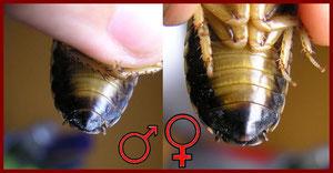 Blaptica Dubia. Hembra y macho. La hembra como se puede observar tiene un segmento menos al final del abdomen.