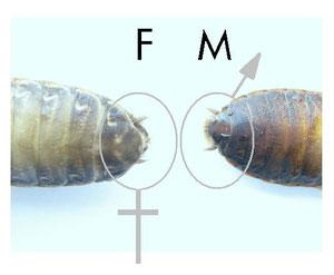 Nauphoeta cinérea. Hembra y Macho. La hembra como se puede observar tiene un segmento menos al final del abdomen.