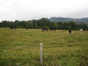 Elevage d'équidés en Limousin