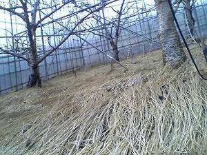 さくらんぼ狩りフルーツ狩り大沢農園ワラ敷き