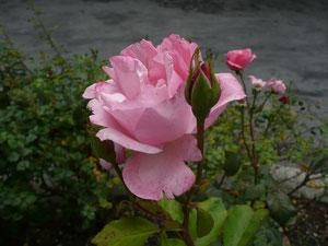 Rose devant l'église des dominicains