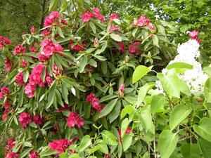 En fushia, près du lilas blanc
