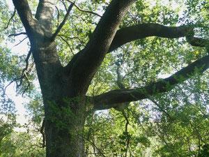 roure (Quercus cerriodes)