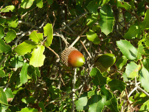 Garric, coscoll (Quercus coccifera)