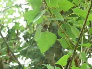 Pollancre (Populus nigra)