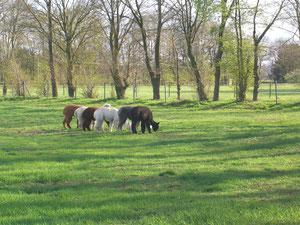 Unsere Alpaka Stuten beim Grasen