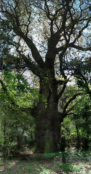 Chêne Carnasse
