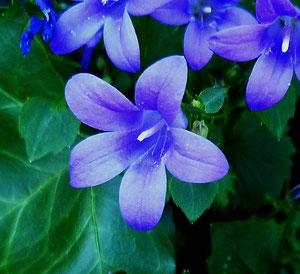 """Blaue Blumen """"nah"""""""