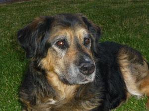Das ist mein 12 Jahre alter Bernersennen-Schäferhund Gysmo