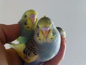 Auch am Bauch haben wor gelbe Flecken zu dem grün und blau.