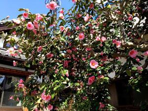 ちょっと珍しい大ぶりの桃色の椿