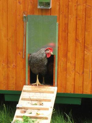 Gockel Egon erkundet für seine Hühner das neue Umfeld