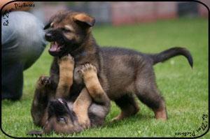 Pups uit O-nest vom Grubenländer Schupo