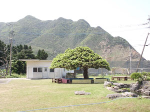 シンボルツリーのガジュマルと乙平山